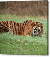Siberian Tiger Checking Scent Canvas Print