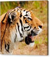 Siberian Tiger In Profile Canvas Print