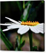 Side Of A Daisy Canvas Print