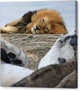 Siesta Time For Lions In Africa Canvas Print