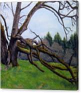 Signature Oak Canvas Print