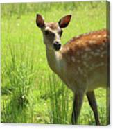 Sika Deer Omagh Canvas Print