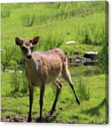 Sika Deer Water Hole Omagh Canvas Print