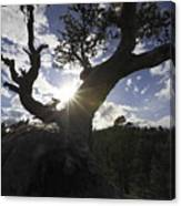 Silhouette Of A Gnarled Tree Canvas Print