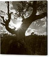 Silhouette Of A Gnarled Tree - Sepia Canvas Print