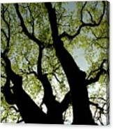 Silhouette Of A Tree Trunk With New Growth In Springtime Canvas Print