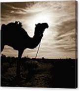 Silhouetted Camel, Sahara Desert, Douz Canvas Print