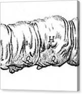 Silkworm, Malpighi, 1686 Canvas Print