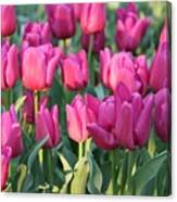 Silky Pink Tulips Canvas Print