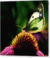 Silky Wings Canvas Print