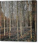 Silver Birch Winter Garden Canvas Print