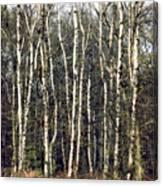 Silver Birch Trees Canvas Print