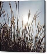Silver Grass Canvas Print