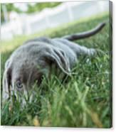 Silver Labrador Retriever  Canvas Print