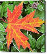 Silver Maple Frost Canvas Print