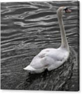Silver Swan Canvas Print