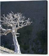 Silver Tree Glacier Park Montana Canvas Print