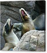 Singing Sea Lions Canvas Print