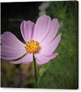 Single Cosmos Canvas Print