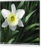 Single Daffodil Canvas Print