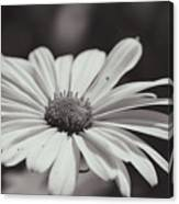 Single Daisy Bw Canvas Print