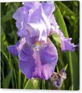 Single Iris In Bloom Canvas Print