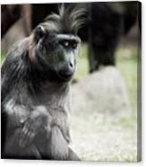 Single Macaque Monkey Sitting Canvas Print