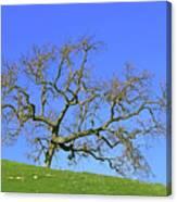 Single Oak Tree Canvas Print