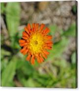Single Orange Wild Flower Canvas Print