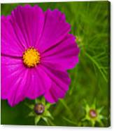 Single Purple Cosmos Flower Canvas Print