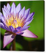Single Purple Water Lily Number One Canvas Print