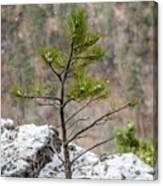 Single Snowy Pine Canvas Print