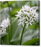 Single Stem Of Wild Garlic Canvas Print