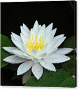 Single While Water Lily On Black Background Canvas Print
