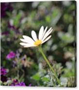 Single White Daisy On Purple Canvas Print