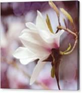 Single White Magnolia Canvas Print
