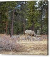 Single White Tail Deer Canvas Print