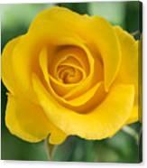 Single Yellow Rose Canvas Print