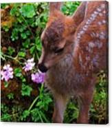 Sitka Black-tailed Fawn Canvas Print