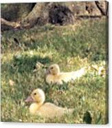 Sitting Ducks Canvas Print