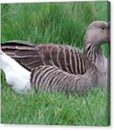 Sitting Goose Canvas Print