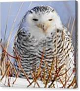 Sitting Snowy Owl Canvas Print