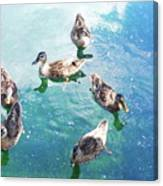 Six Ducks Swim Together Canvas Print