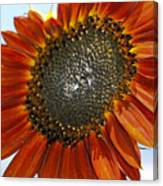 Sizzling Hot Sun Flower Canvas Print