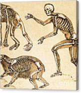 Skeletons Of Man, Ape, Bear, 1860 Canvas Print