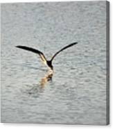 Skimmer Skimming Canvas Print
