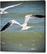 Skimmers In Flight Canvas Print