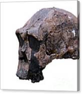 Skull Of Homo Erectus Canvas Print