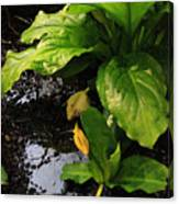 Skunk Cabbage Beauty Canvas Print