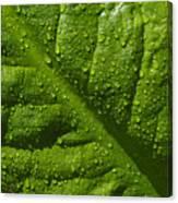 Skunk Cabbage Leaf Canvas Print